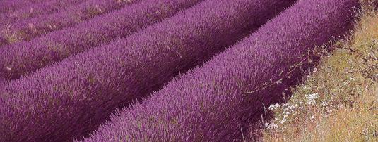 LavenderIntroPhoto.jpg