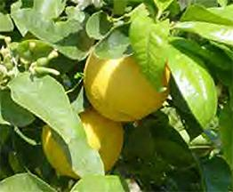 Bergamot BF (Citrus bergamia)