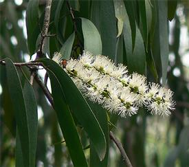 Cajeput (Melaleuca leucadendron var. cajuputi)