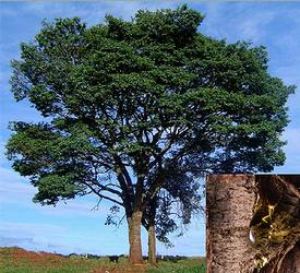 Copaiba Balsam (Copaifera langsdorfii)