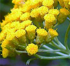Helichrysum (Helichrysum gymnocephalum)