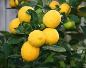 Meyer Lemon (Citrus meyeri)