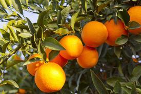 Orange-Wild (Citrus sinensis)