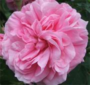 Rose de Mai Absolute (Rosa centifolia)
