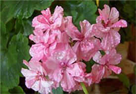 Rose Geranium Massage Oil - 4 oz.